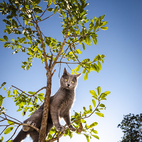 Climb to the Top by Emily Stillings - Animals - Cats Playing ( playing, climb, russian blue, e.j.stillings photography, cat, tree, emily stillings, grey, baby, kitty, top,  )