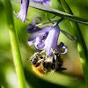 Potter flower bee