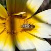 Bug. Chinche