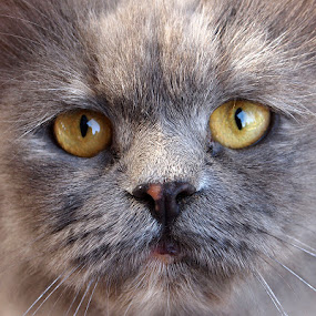 Cat from Damascus by Name of Rose - Animals - Cats Portraits ( cat, street, green eyes, grey, stray, damascus, portrait )