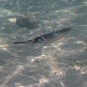 Long-finned Squid