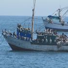 Pelican, Pelícano peruano, Pelícano marrón