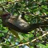 Red faced Mousebird