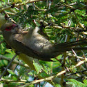 Red faced Mousebird