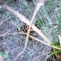 Red sheet-web weaver