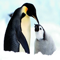 Cute Penguin HD Wallpaper icon