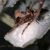 Western Lynx Spider egg sac