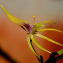 Hoffmeisterella orchid