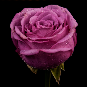 Rose in Lilac Tone by Cristobal Garciaferro Rubio - Flowers Single Flower ( rose, drop, drops, roses, flowers, flower )