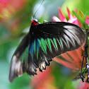 Rajah Brookes Birdwing
