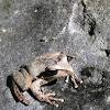 Northern Laughing Treefrog