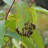 eucalyptus tortoise beetle (late instar larvae)