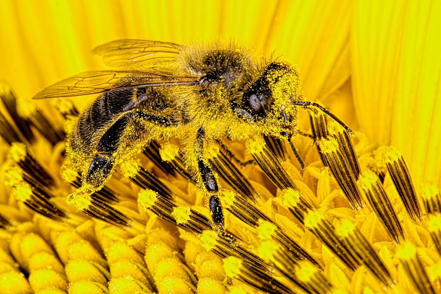 Bee on Sunflower by Henry Jager - Animals Insects & Spiders ( jager, super macro, conartix.ch, bee, green, ecosystem, sunflower, yellow, bokeh, conartix-photo.ch, photography, honey, apis mellifera, macro, pollen, nature, henry, pollinate, pollenise, backyard, gelb, garden, flower,  )