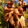 Goldenrain tree seed pods