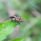 Ground Bug