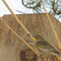 Yellow-rumped Warbler (female, Audubon's form)