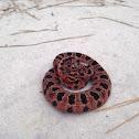 Carolina Pygmy Rattlesnake