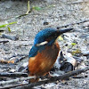 Common Kingfisher / Eisvogel
