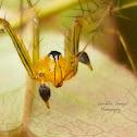 Lynx Spider (Male)
