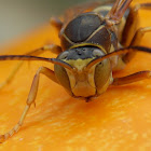 Northern Paper Wasp (male)