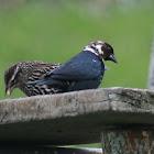 Brown Headed Cow Bird (leucistic form)