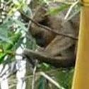 Howley Monkey, Bugio