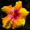 Yellow Hibiscus Pixoto.jpg