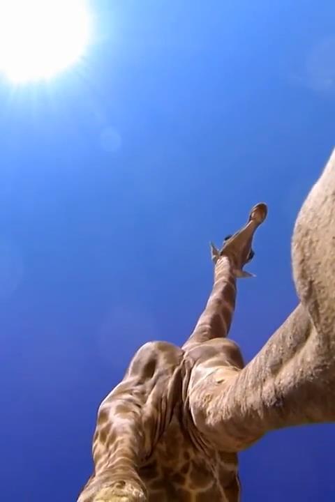 Giraffe Hidden Capture Live WP - screenshot