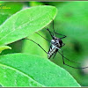 Armigeres Mosquito