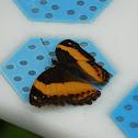 Australian rustic butterfly