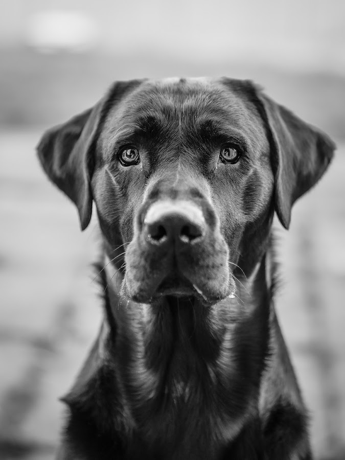 Focused by Rachel Inspired - Animals - Dogs Portraits ( sony, blackandwhite, focus, dog, portrait, sony a7,  )