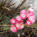 Cape everlasting flower