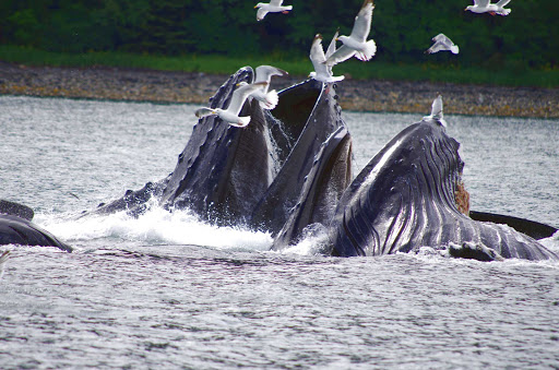 "Whale sighting near Juneau, Alaska, including humpback whales ""bubble feeding"" off a school of herring."