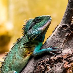 Chameleon by Arslan Mughal - Animals Reptiles ( color, green, wildlife, chameleon, animal,  )