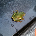 Squirrel treefrog