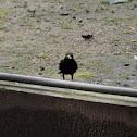Eurasian blackbird 乌鸫
