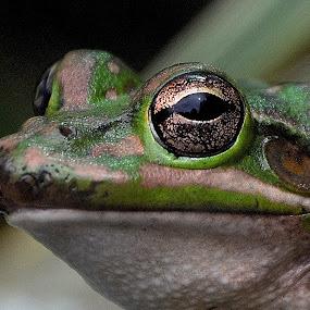 clean gold  by Zhenya Philip - Animals Amphibians ( macro, frog, photography )