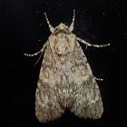 Ruddy dagger moth