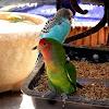 Cotorra cabeciroja. Red-masked Parakeet???