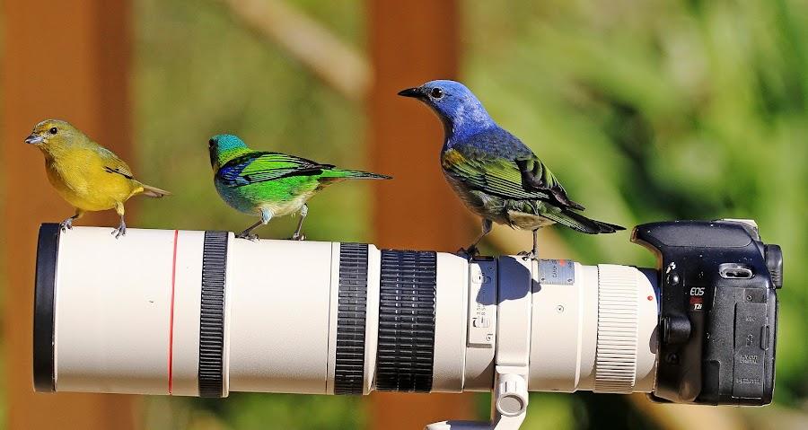 Selfie !!!! by Itamar Campos - Animals Birds ( brazil, morretes, saíra sete cores, gaturamo, sanhaço do encontro amarelo )