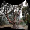 Pacific Madrona Tree