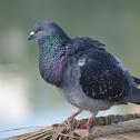 家鴿 / Rock Dove