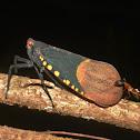 Scamandra Planthopper