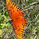 Gulf Frittilary/Passion Butterfly