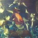 Betta Fish (Siamese Fighting Fish)