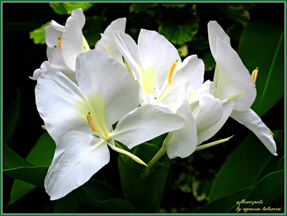 White Ginger Lily Project Noah