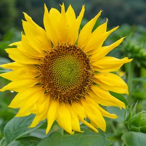 Sun Flower by Husni Mubarok - Flowers Single Flower