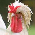 Houdan Rooster