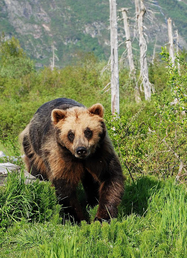 Anchorage-Brown-Bear - A brown bear in the mountains near Anchorage, Alaska.