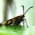 Amata Moth (male)
